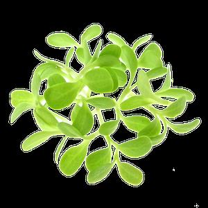 Oekologiske Endivespirer af froe fra FRISKE SPIRER