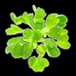 Oekologiske Kinaradisespirer af froe fra FRISKE SPIRER